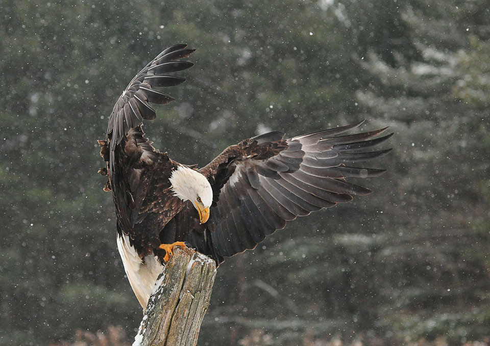 45-American Bald Eagle_Latow_Virginia Stranaghan